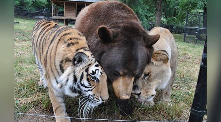 Bär Löwe Tiger